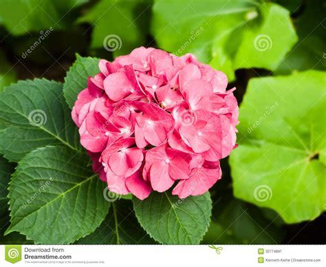 showy garden flower showy garden flower forsythia hosta heuchera tagetes in