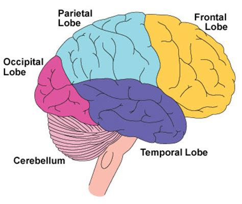 what are the four sections of the brain frontal lobe why is it so important what happens if it