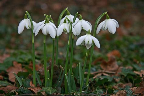 Snow Drop by File Snowdrop Bells Jpg