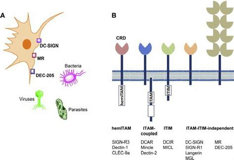 pattern recognition receptor lectin myeloid c type lectin receptors clrs in innate immunity