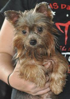 yorkie rescue orlando 1000 images about rescue on adoption orlando and dogs