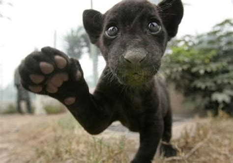 How Many Babies Can A Jaguar Panthers Animals Wiki Pictures Stories