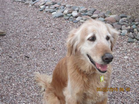 arizona golden retrievers southern arizona golden retriever rescue