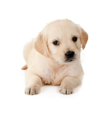 raising golden retriever puppies golden retriever puppies for sale white etc ct breeder