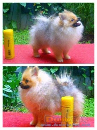 Jual Jual Puppies Minipom Kaskus dunia anjing jual anjing pomeranian for sale puppies
