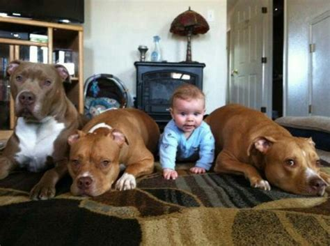 nanny dogs pit bulls the original quot nanny quot dogs cats