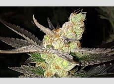 Sour OG Cannabis Strain Information - Leafly Leafly App