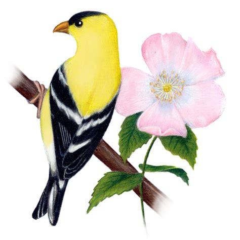 state flower of iowa iowa state bird and flower eastern goldfinch carduelis