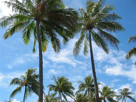 palm tree free hawaii pictures and stock photos
