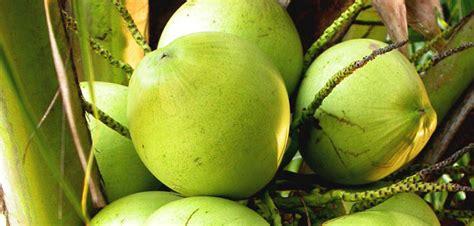kelapa hijau kasiat dan cara penggunaannya problem malang malangcorner com