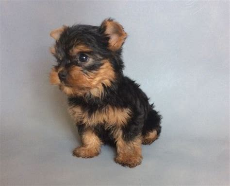 yorkie puppies montgomery al terrier puppies for sale montgomery al 185745 petzlover