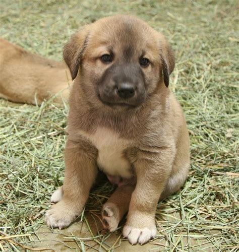 anatolian shepherd puppy anatolian shepherd info history temperament puppy pictures