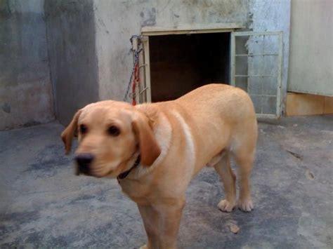 labra puppy cjb upcomingcarshq