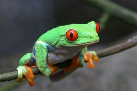 imagenes de la rana sarcasticas 191 c 243 mo se llama el sonido que emite la rana 187 respuestas tips