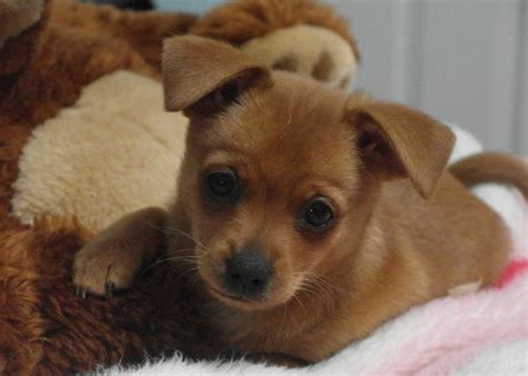 chihuahua min pin puppies harlee the miniature pinscher chihuahua mix allmutt