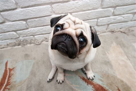 pugs glands five lessons from a of glands drandyroark