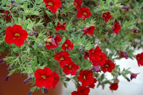 the cabaret of plants cabaret bright red calibrachoa calibrachoa cabaret bright red in ottawa nepean kanata