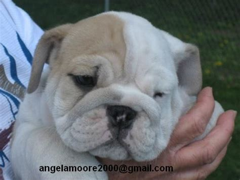 free puppies in baltimore pets baltimore md free classified ads