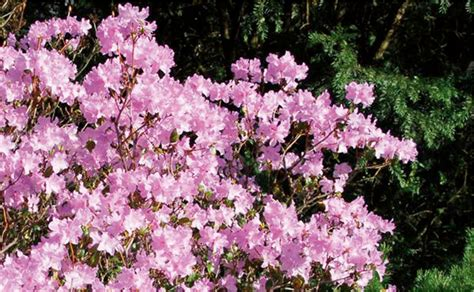 Rhododendron Pflege by Rhododendren Pflegen Bei Hornbach