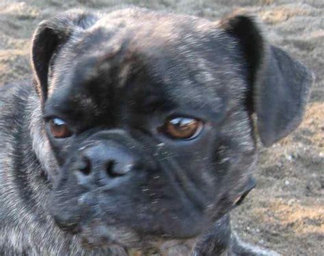 pug designer breeds designer dogs list of designer breeds info and images hybrid dogs