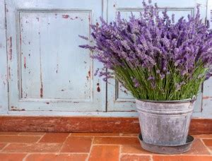 Does Lavender Repel Bed Bugs by 11 Plants That Repel Mosquitoes