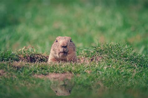 groundhog day italian groundhog day travel events culture tips for