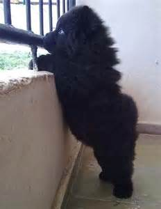 Newfoundland puppy looks just like a little black bear