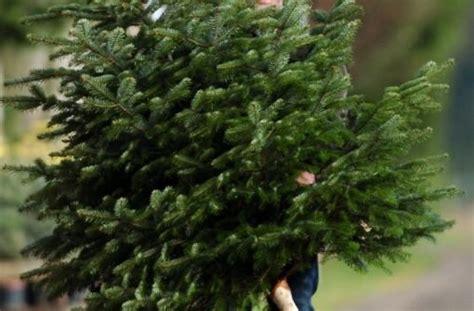 weihnachtsbaum zucker im wasser h 228 lt die tanne gr 252 n