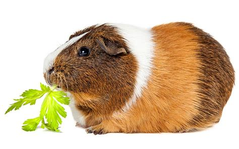 what can i feed my can i feed my guinea pig celery squeaks and nibbles