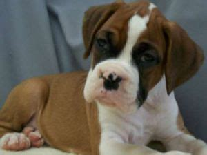 boxer puppies florida boxers puppies for sale boxer puppies for sale in orange park fl