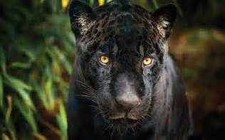 How Many Jaguars Are There In The World Black Jaguar Symbolic Animal Adoptions From Wwf