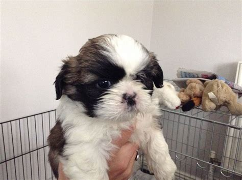 shih tzu for sale adorable shih tzu puppies for sale chesterfield derbyshire pets4homes
