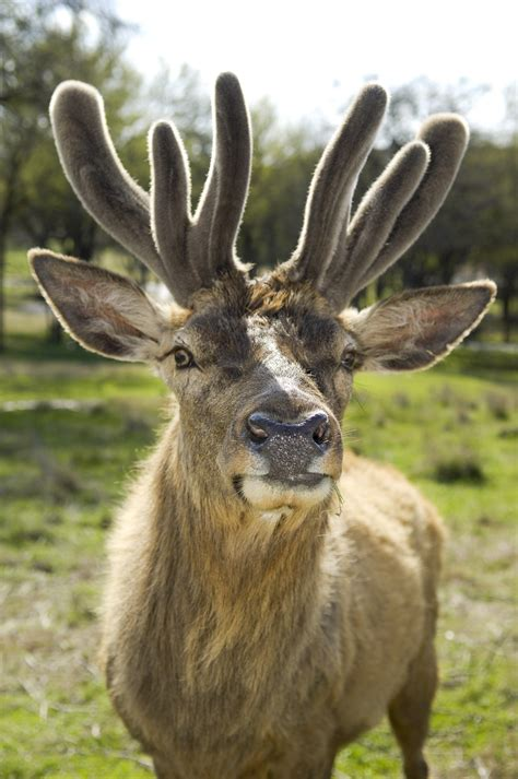 Animals That Shed Antlers by Antlers Vs Horns Words On Wildlife