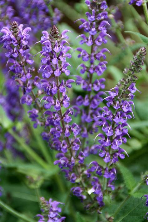 57 best images about salvia on pinterest gardens guanajuato and perennials