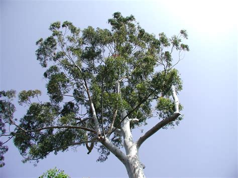 eucalyptus trees prolixium dot com photography gt gt san diego zoo and