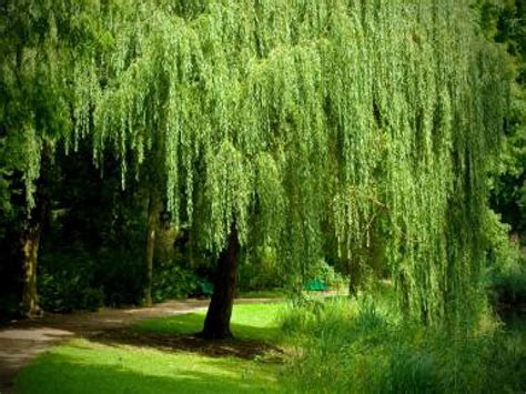 getty garden weeping willow tree dwarf weeping willow