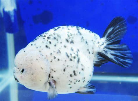 Pakan Ikan Koki Yang Baik cara menjaga warna ikan koki yang bagus distinca hobi