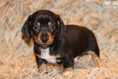puppies for sale in dallas mini dachshund puppies dallas tx breeds picture