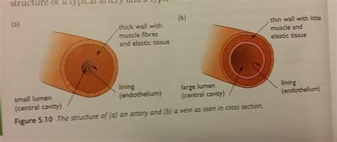 vein cross section arteries veins and capillaries igcse biology