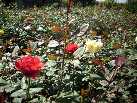 Jual Bibit Bunga Mawar Putih supplier bibit mawar jual bunga mawar eceran grosir