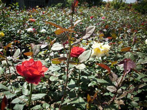 Jual Bibit Bunga supplier bibit mawar jual bunga mawar eceran grosir