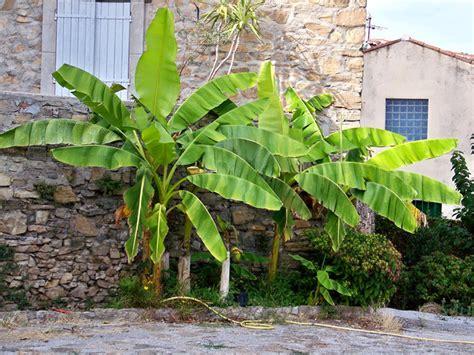 Nice Gel D Eau Pour Plante #11: 02-bananiers.jpg