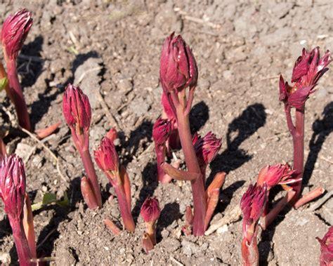 wann sollte am besten einen schwangerschaftstest machen bauernrosen pflanzen 187 so machen sie alles richtig