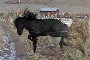 Mustang Black Friday Icon Of Freedom Wild Black Stallion Escapes Blm Capture Straight From The Horse S Heart
