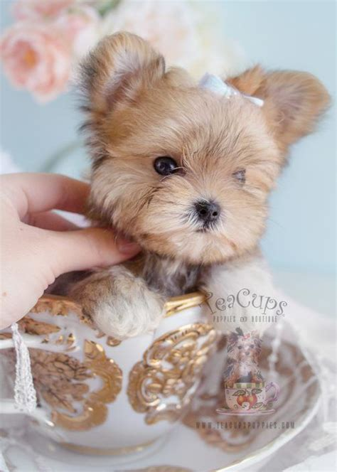 morkie puppies for sale best 25 morkie puppies ideas on yorkie