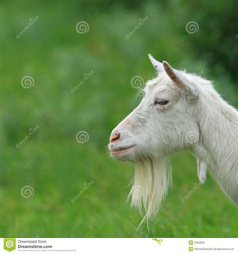 bearded heat l bearded goat stock image image of barn