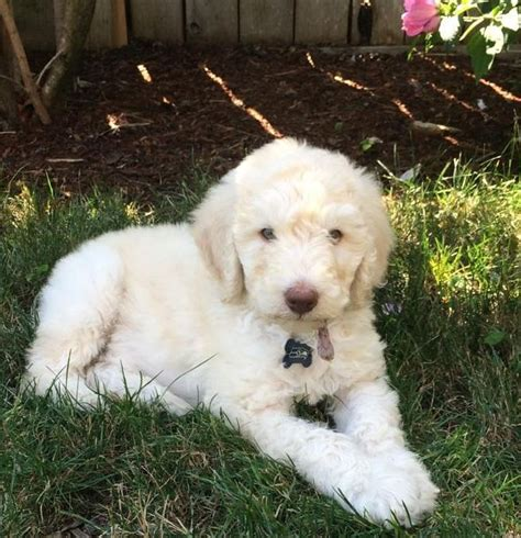 goldendoodle puppies for sale in knoxville tn aussiedoodle black breeds picture