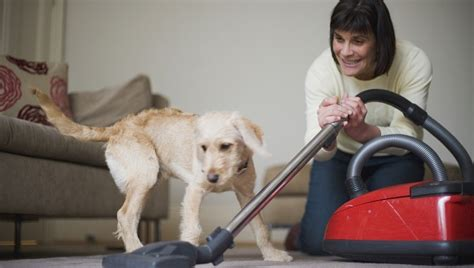 Dogs Shedding Winter Coat by Shedding What To Do When Your Loses Their
