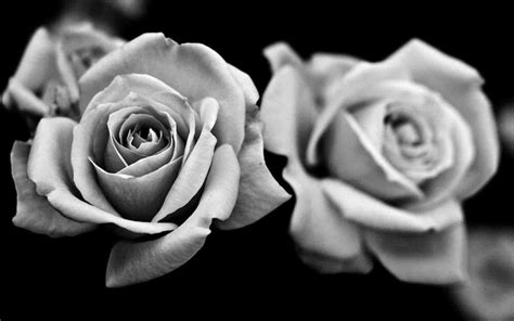 wallpaper black and white roses black and white roses wallpaper wallpapersafari