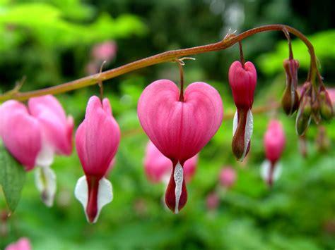 bleeding heart flower part 1 weneedfun